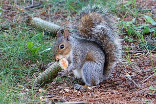 Gray Squirrel with a Pine Cone