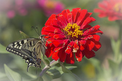 Papilio Machaon (Dalia-Nera) Tags: farfalla butterfly papilio machaon zinnia butterflyhouse workinprogress