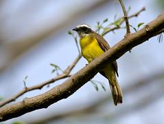 Social Flycatcher -----Myiozetetes similis (creaturesnapper) Tags: borinquenmountainresort rincondelavieja costarica flycatchers socialflycatcher myiozetetessimilis