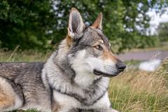 DSC00825 (Andrew Gibson.) Tags: lakedistrict maleswolf sonya7ii sonyilce7m2 thepredatorexperience wolves wolf wildlife wolfhybrid predatorexperiencecouk maska kajika outdoor animal
