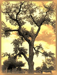 networking (milomingo) Tags: nature tree plant outdoor yellow frame photoborder tint texture contrast sky cloud southwest newmexico albuquerque abqbiopark citrit