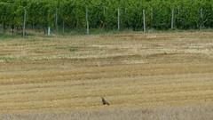 Greifvogel im Feld bei Gau-Odernheim