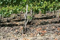ckuchem-1448 (christine_kuchem) Tags: ahrtal anbau anbaugebiet eifel felsen schiefer schieferfelsen sommer weinanbau weinberg weintraubenanbau weintrauben