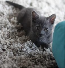 IMG_2517 (murkla_la) Tags: cat russianblue moussie gray graycat