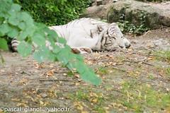 DSC_1882 (Pascal Gianoli) Tags: beauval lion lionne tigre tigreblanc whitetiger zoo zooparc saintaignansurcher centrevaldeloire france fr pascal gianoli pascalgianoli