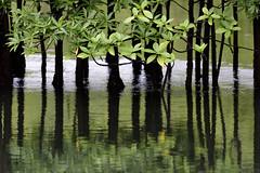 Los manglares de Utra (Fredy Gmez Suescn) Tags: chocobiogeogrfico choc colombia pacifico utria mangle chocobiogeogrfico choc estero grande pnn pelliciera rhizophorae tetrameristaceae piuelo reflejo