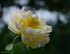 Fleur de lotus / Lotus flower (anjoudiscus) Tags: roseange d800 nikkor300mmf4epf fleurdelotus lotusflower nelumbo planteaquatique aquatique nature jardinbotanique montral qubec canada aot 2016