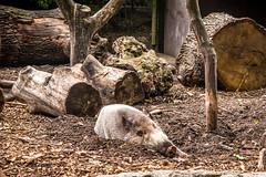 I See You (jev55) Tags: nikon londonzoo zsl london zoo animals summer warm light bearded pig boar