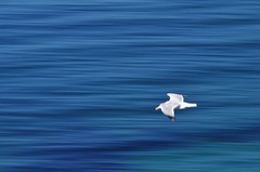 Flying by... (Sundornvic) Tags: seagull movement blur speed waves sea motion white blue cornwall nature