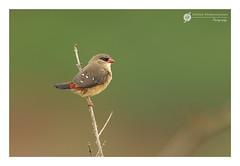 ~~ Red Munia ~~ (Deepak Prabhakaran) Tags: ifttt 500px red 2016 august munia ooty birds nilgris india nature photograph perched