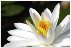 New every morning - 7726 (willfire) Tags: willfire singapore gbtb waterlily whiteflower