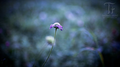 Alone (Thomas TRENZ) Tags: 35mm austria nikon thomastrenz vienna blume d600 flower fullframe fx macro makro natur nature vollformat wien sterreich