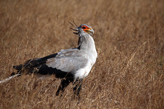 Secretary Bird (theindiannaturalist) Tags: africa east africanwilds birds panthera lions big5 small5 bigfive smallfive landscapes colours birdswildernessbuffalo prey eastafrica tanzania ngorongoro crater horse donkey wildlife nature beauty wildlifephotography wildafrica africageographic natgeo