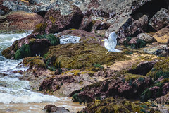 18092016DSC_1103.jpg (Ignacio Javier ( Nacho)) Tags: facebook gaviotas aves flickr pginafotografia faunayflora santander cantabria espaa es