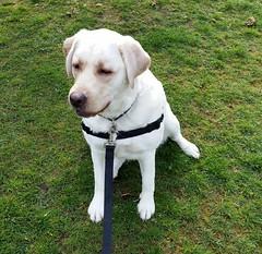 Gracie sat on grass (walneylad) Tags: dog pet cute puppy spring gracie lab labrador canine april labradorretriever