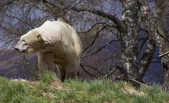 Polar Bear (duncan_ireland) Tags: bear park scotland wildlife royal polarbear highland polar society ursus kingussie ursusmaritimus zoological maritimus highlandwildlifepark royalzoologicalsocietyofscotland