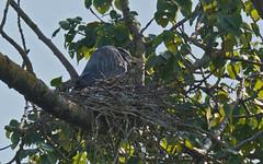 On the nest (nickinthegarden) Tags: canada greatblueheron chilliwackbc greatblueheronreserve