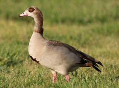Egyptian Goose (drbeanes) Tags: fort goose egyptian mchenry alopochen aegyptiaca