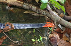 Red-headed Krait (Antonio Giudici Butterfly Trips) Tags: thailand dangerous snakes reptiles deadly venomous reptilia elapidae krait yongwaterfall bungarusflaviceps theredheadedkrait antoniogiudicibutterflytrips wwwantoniogiudicicom wwwthaibutterfliescom