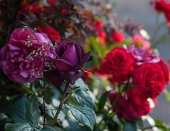 Purple and red roses (Fred Mi.Femme.Mi.Fouine) Tags: roserouge parcdelattedor roseraie pentaxk10d pentaxart roseviolette