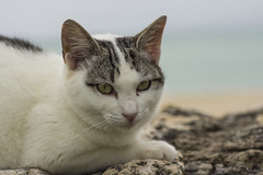 / Cat at Kondoi Beach in Taketomi Island, Okinawa, Japan (kimtetsu) Tags: beach animal japan cat  okinawa        taketomiisland
