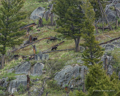 Large Grizzly bear walking a downed tree on the way to breakfast !  B22A1581 (looselens2009) Tags: bear usa mountains nature fur landscape rocks wildlife teeth boulders yellowstonenationalpark wildanimal wyoming paws claws grizzlybear yellowstonenatpark sloughrd yellowstone5162015