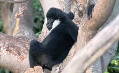 White-cheeked Gibbon (mertie.) Tags: zoo adelaidezoo whitecheekedgibbon