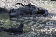 Predator and Prey (DFChurch) Tags: wild nature animal florida reptile alligator swamp otter prey predator corkscrew