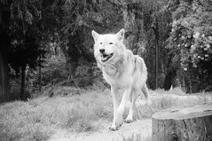DSC00274 (ifernando2) Tags: wolf wildanimal lobo