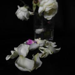 Sembla que vegin (llambreig) Tags: love rose paper death spain poetry poem amor mort flor rosa blanca record poesia nit poeta versos memria oblit ptals leveroni desmai castello castellodelaplana porcarnet