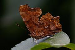 _F0A4117.jpg (Kico Lopez) Tags: rio spain galicia mariposas lugo mio polygoniacalbum lepidopteros