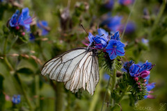 Black-veined White (eeva654) Tags: black white veined nature macro canon micro butterfly bug insect aporia crataegi