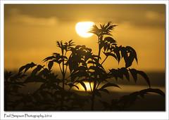 Silhouette Sunset (Paul Simpson Photography) Tags: sunset orange sun plant nature leaves silhouette sunny summertime naturalworld photosof imageof photoof sunsetphotos imagesof sonya77 paulsimpsonphotography july2016