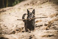 IMG_0656 (jabberjinx) Tags: dog dogs canon shepherd canine hh brindle dutchshepherd dogphotos hollandse dutchie paimenkoira hollandseherder canoneos7d canon7d hollanninpaimenkoira holsku