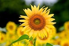 Sunflower (tez-guitar) Tags: sunflower flower summer blossoms bloom pentax pentaxart petal tamron macro