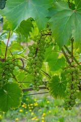 Premature wine (cdnfish) Tags: green grape wine grass leaf damalilavenderwine millbay cowichanvalley cobblehill sony sonya7m2 a7m2 exploring explore