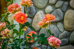 Roses along a wall (randyherring) Tags: ca california plant flora sanjose nature flower afternoon outdoor blooming bloom wall roses rocks unitedstates us
