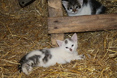 Hello here we are again ! (excellentzebu1050) Tags: kittens newlife newborn animalportraits animal indoors pet farm closeup cat coth5