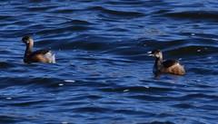 This way (Luke6876) Tags: australasiangrebe grebe bird animal wildlife australianwildlife