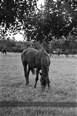 amazing brown horse (art.megi) Tags: horse ko animal film analog zenitb bw