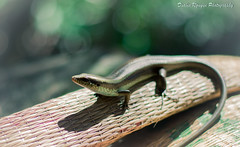 A mini dinosaur (Diablo Nguyen Photography ( Chnh Nguyn )) Tags: light nature animal photography 50mm nikon flickr paradise lizard greenery d7000 natureandnothingelse diablonguyenphotography