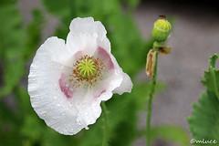 Pavot  opium ou Oeillette ! (Milucide !) Tags: macro opium papaver pavot gouttelettes toxique oeillette