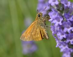 farfalla (kyry2010) Tags: farfalla butterfly mariposa schmetterling papillon