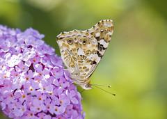 Distelfalter auf Schmetterlingsstrauch (Bernhard Sitzwohl) Tags: butterfly schmetterling distelfalter vanessacardui schmetterlingsstrauch bokeh pflanze insekt plant blur green magenta nature outdoor