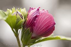 Hibiscus (sue_nurmi) Tags: flowerbud hibiscus