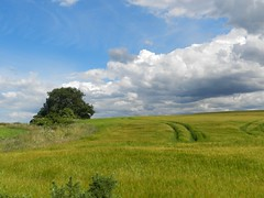 Beautiful Day, Alturlie, Inverness, July 2016 (allanmaciver) Tags: tree weather hot day scotland summer clouds green harvest field crop white circle track shadow shade heat walk inverness allanmaciver