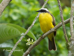 Social Flycatcher,Myiozetetes similis (Sandy Espinoza F) Tags: socialflycatcher myiozetetessimilis birds birding sisakunalodge mindo pichincha ecuador trektheworld birdingecuador