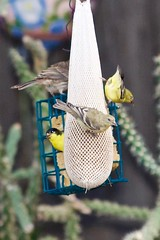 Swarming Goldfinches (phicks172) Tags: bird finch