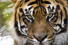 Sumatran Tiger 46 (cypher40k Photography) Tags: toronto color colour zoo nikon tiger bigcat sumatrantiger torontozoo