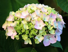 Hydrangea (ekaterina alexander) Tags: hydrangea hortensia pink green blossom bloom ekaterina england alexander sussex nature photography pictures flowers flower summer